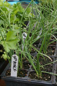 photo of herb starts