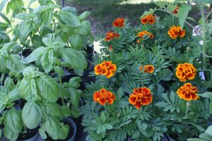 photo of basil and marigolds